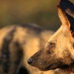 High-Performance-Team-African-Wilddog