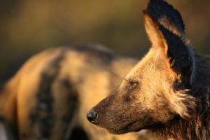 Prestatieverbetering: Een Afrikaanse wilde hond op de verkoopafdeling
