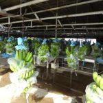 15. visiting banana plant 2